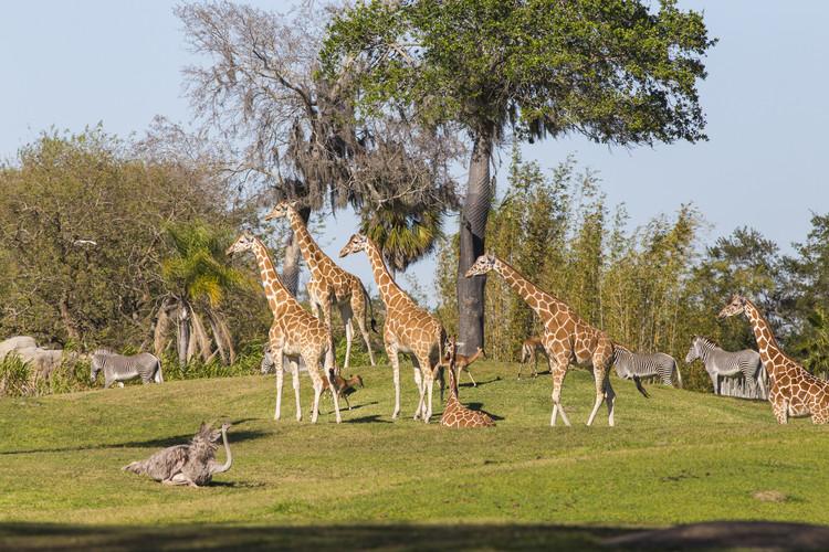 Safári no Busch Gardens Tampa Bay: animais