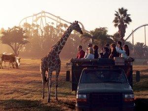 Safári no Busch Gardens Tampa Bay: girafa